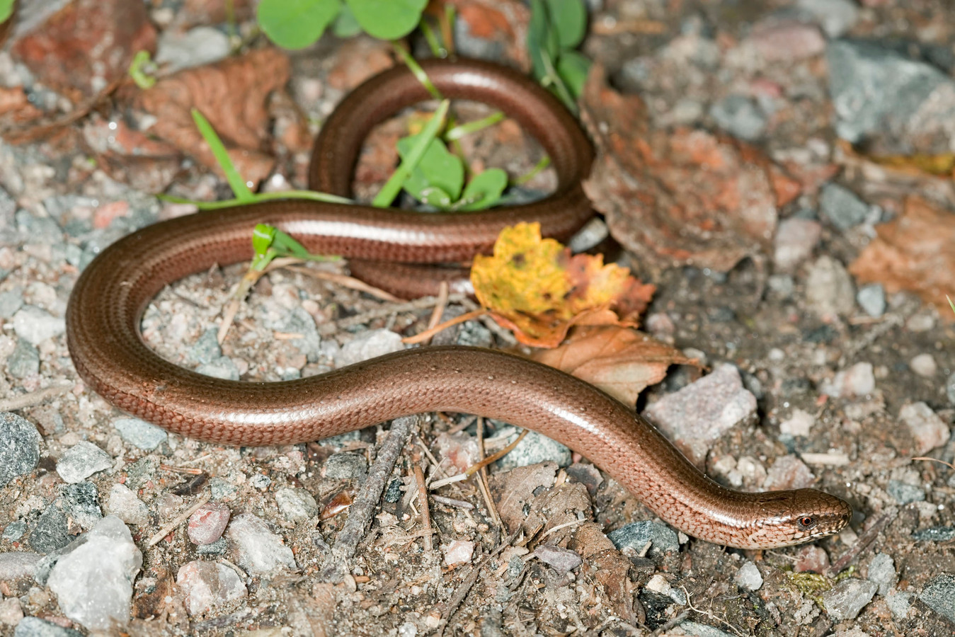 """,,Mensen denken vaak een slang te zien"""", zegt de Brabantse bioloog."""