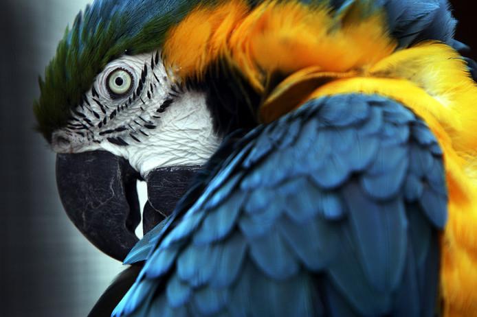 Een ara-papegaai. Dit is niet de papegaai in kwestie.