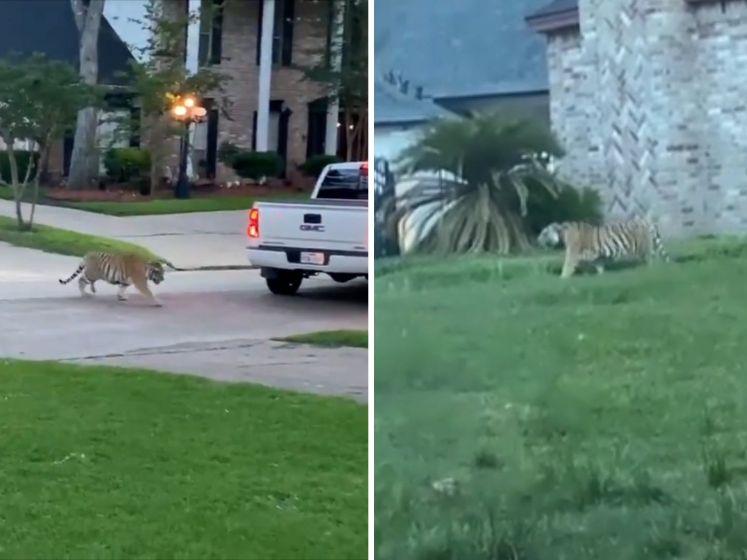 Ontsnapte tijger loopt los in Amerikaanse woonwijk