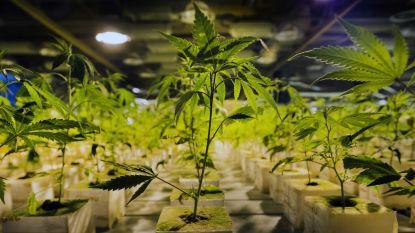 1.100 wietplanten ontdekt in Rekem