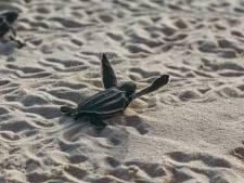 Lederschildpad broedt in alle rust door coronalockdown
