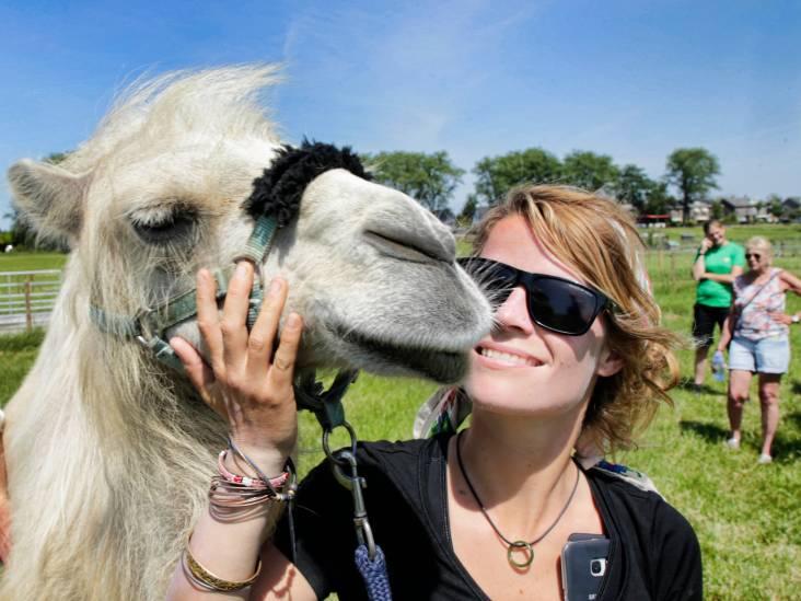 Liefde nodig? Ga in knuffeltherapie met kameel Einstein: 'Daar kan geen psychiater tegenop'