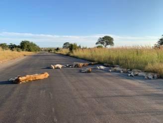 Geen toeristen meer door corona? Leeuwen in het Krugerpark pakken het er eens goed van