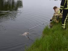 Al zes reeën verdronken in kanalen Twenterand: 'Houd alsjeblieft je hond aan de lijn'