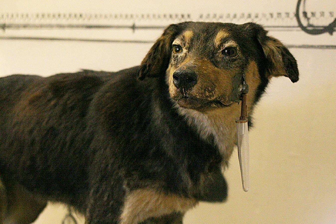 Eén van Pavlovs honden, die opgezet te bezichtigen valt in het Pavlov Museum in Rjazan, Rusland.