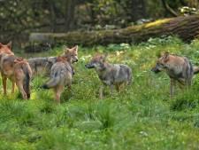 De wolvenwelpen zijn nu volwassen roofdieren: hoe gaan ze zich gedragen?