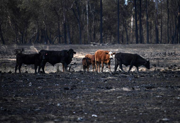 Koeien op een weiland dat werd getroffen door de brand.