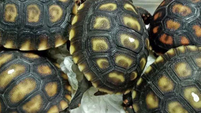De zeldzame schildpadden zaten in plastic doosjes tussen de kleding en schoenen verstopt.
