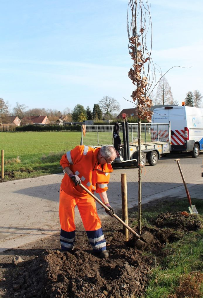 Themabeeld - gemeente plant bomen in Oostmalle