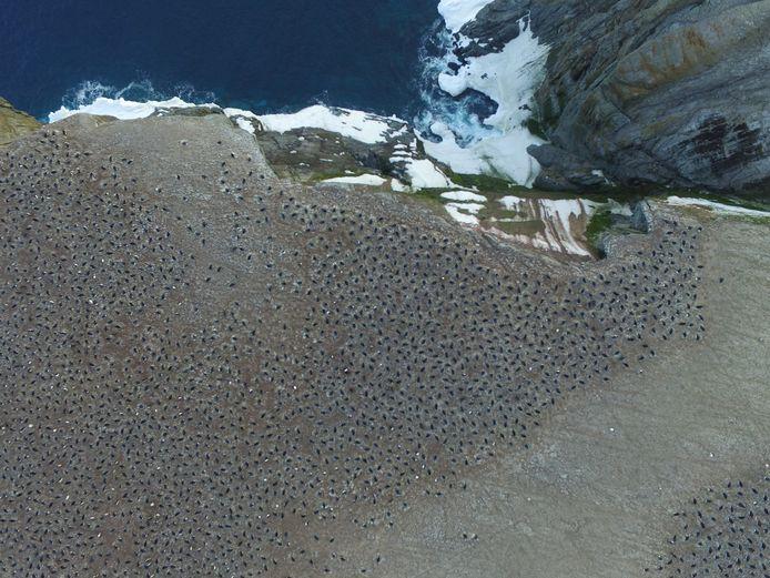 De kolonies Adeliepinguïns horen bij de vier grootsten ter wereld.