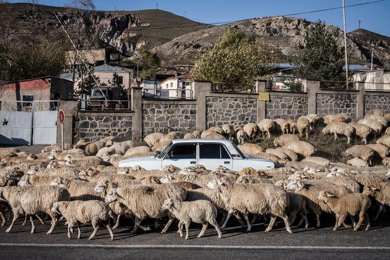 Hevige strijd of niet, de herders blijven op zoek naar geschikte plekken waar hun schapen kunnen grazen. Beeld OLIVIER PAPEGNIES