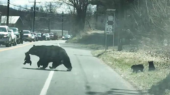 Ce 27 mars, une maman ours a été filmée en train de faire traverser la route à ses 4 oursons dans le Connecticut.