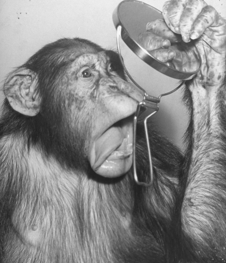 Chimpansee met spiegel. Beeld Foto Getty