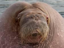 Dolfinarium in Harderwijk raakt zijn vier bekende walrussen mogelijk kwijt aan België en China