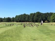 Burggolf Haverleij laat alle ganzen ruimen