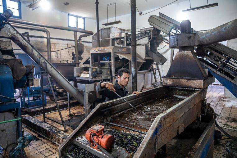 Een medewerker aan het werk bij olijfolieproducent Bashir Boukhris. Beeld Sven Torfinn / de Volkskrant