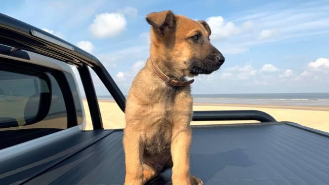 Dit is Marco. Nu nog een schattige puppy, binnenkort spoort hij drugs op in West-Vlaanderen