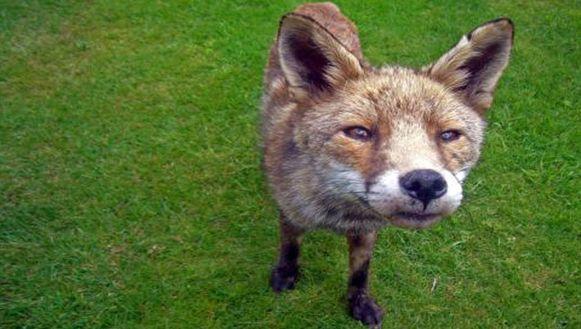 Waarschijnlijk bestonden de vossen alleen in de fantasie van een aantal mensen.