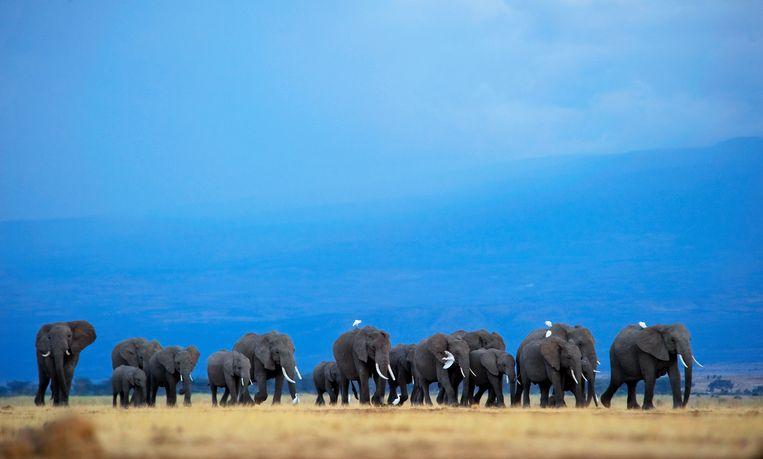 Een kudde olifanten op een savanne in Botswana. De fotograaf, Greg Du Toit, maakte dit beeld vanuit een waterpoel waar de olifanten komen drinken, geen ongevaarlijke onderneming.  Beeld Getty