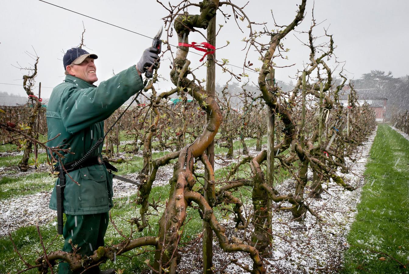 Piet Thijsse, medewerker van Fruitkwekerij De Braacken, snoeit de appelbomen in de sneeuw: zeldzaam.
