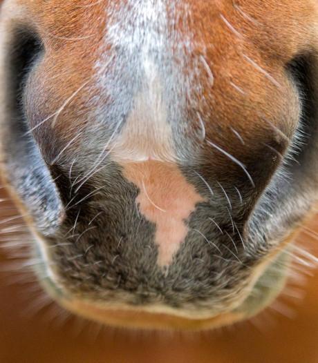 Opnieuw paard manege Lelystad overleden aan rhinovirus