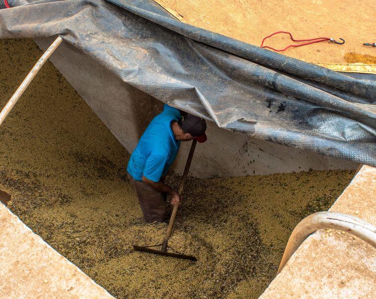 Een Braziliaanse boer helpt bij de soyaoogst. Beeld © Alf Ribeiro