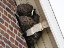 Poepende luchtacrobaten verdienen een nestje in (nieuw)bouw