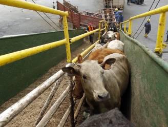 """Schepen met runderen aan boord varen al twee maanden rond, """"ze zijn dood of ondergaan de hel"""""""