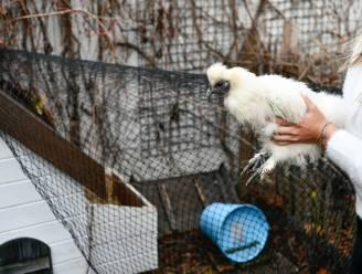 Ook onze kippen moeten in hun kot blijven. Maar wat betekent dat nu? Wij beantwoorden uw vragen