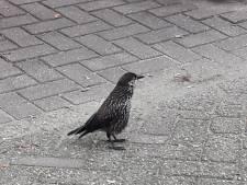 Ruim tweehonderd vogelaars zien uiterst zeldzame notenkraker in Wageningen