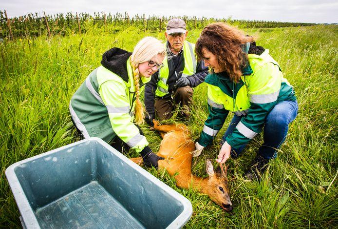 Steeds meer reeën vinden de dood als ze de weg oversteken. De Faunabeheereenheid Zuid-Holland wil dat voorkomen door er in de provincie honderden af te schieten.