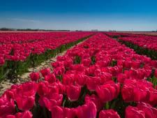 Grote trek naar tulpenvelden in Flevoland blijft uit