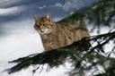 Een wilde kat in het Beierse Woud in Duitsland.