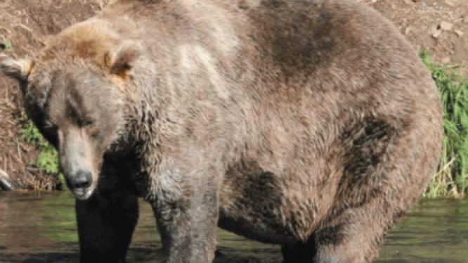 Bruine beer 480 Otis wint 'Fat Bear Week' en wordt bekroond tot dikste beer