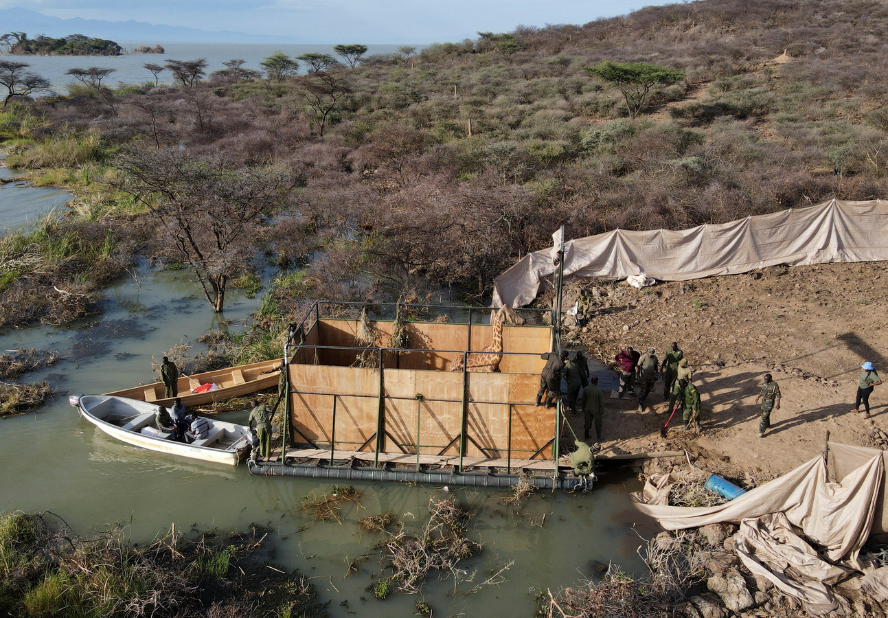 Een giraf stapt op het eiland Longicharo op de schuit die het dier naar een reservaat op het vasteland brengt.