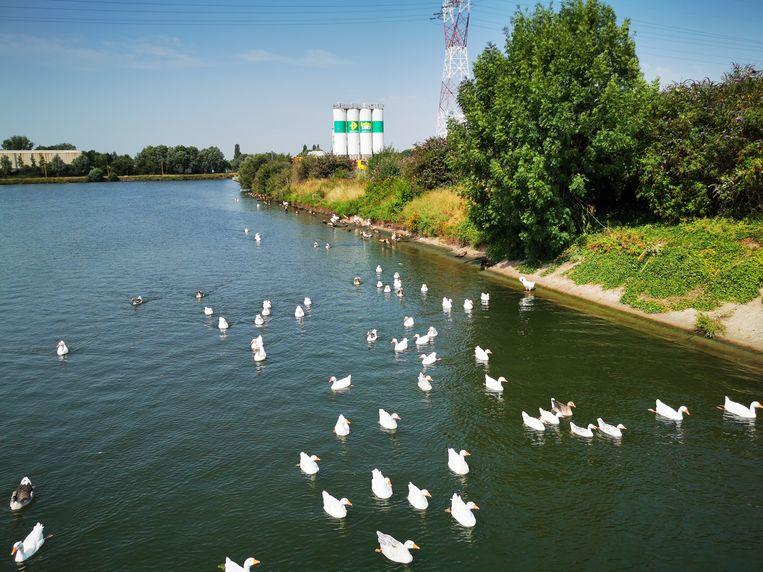 De ganzenpopulatie in het insteekdok van het Zeekanaal wordt almaar groter.