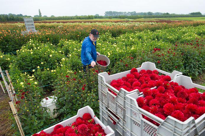 Buurtschappen leveren dahlia's voor export aan.