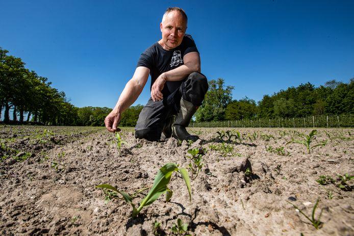 Een paar maïsplantjes van Evert-Jan Aalboer staan er nog, maar de rest van zijn 1,5 hectare is leeggegeten door roeken.