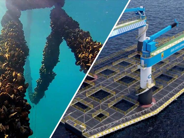 Hoe offshorebedrijf OOS mosselen wil kweken op de Noordzee