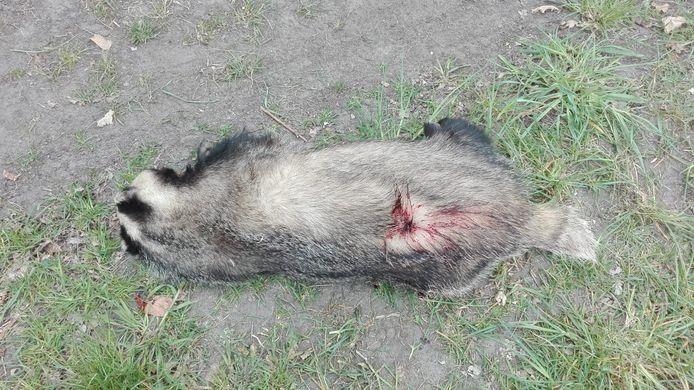 In Deurne werd zondag een doodgeschoten das gevonden.