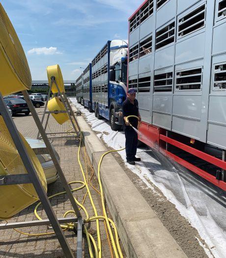 Diertransport niet boven 30 graden? Veetransporteurs zien niets in nieuwe aanscherping