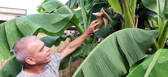In de bananenboom van Joop Kivits uit Kaatsheuvel groeien voor het eerst trossen bananen.