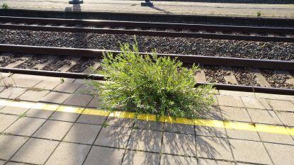 Hinderlijk voor treinreizigers: onkruid op perron station Aalter staat meter hoog