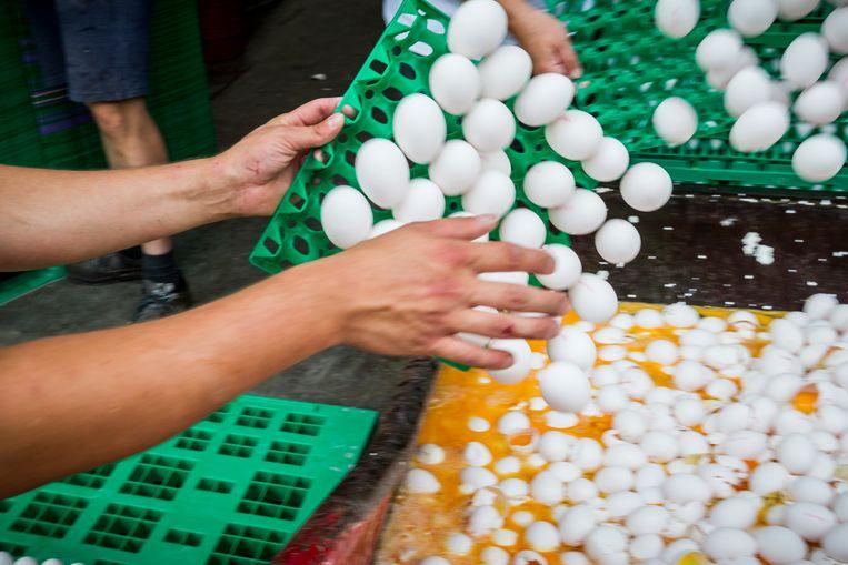 Eieren worden op last van de Nederlandse Voedsel- en Warenautoriteit (NVWA) vernietigd bij een pluimveehouder.  Beeld Hollandse Hoogte /  ANP