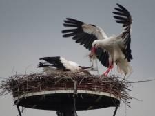 Erna Kool volgt Deestse ooievaars van ei tot eerste vlucht