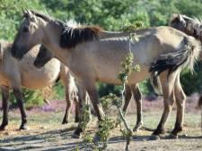 Deel van naar Spanje verhuisde konikpaarden sterk vermagerd door parasiet