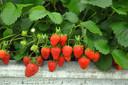 Plant aardbeien in hangmanden of -potten die je over de reling van je balkon hangt.