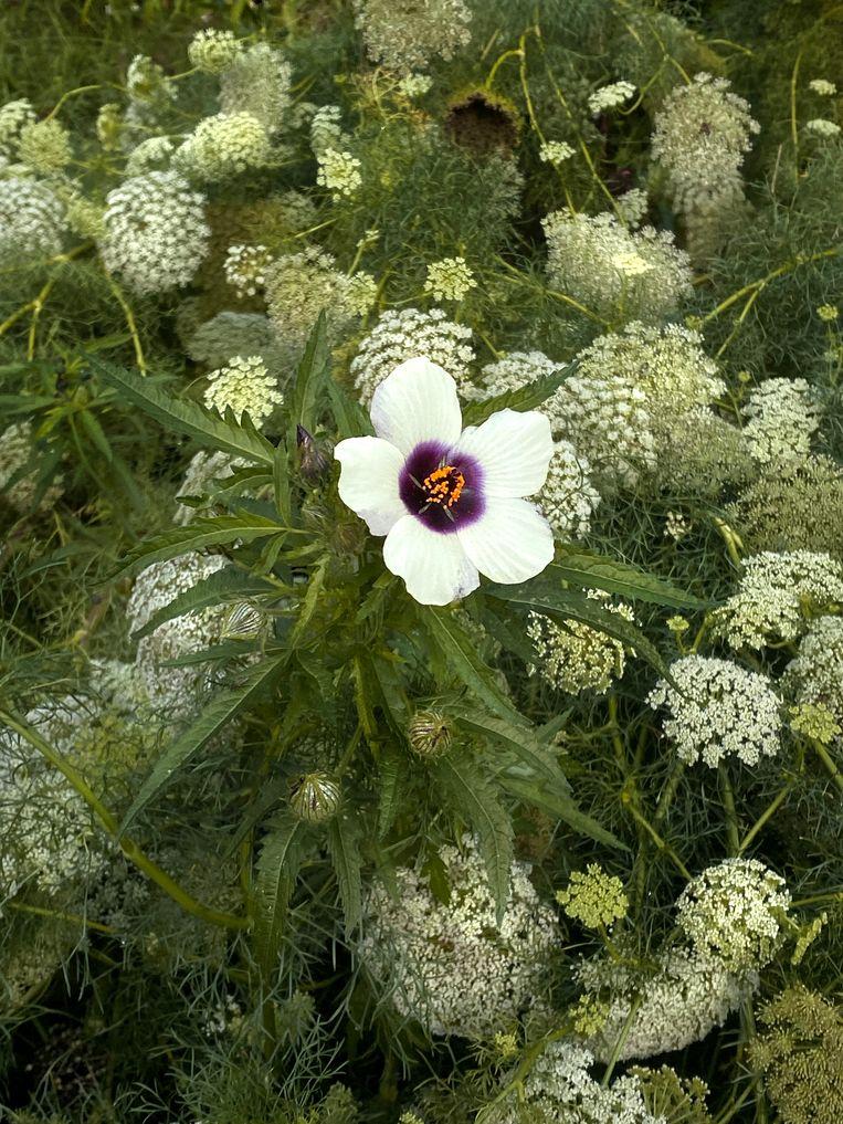 Hibiscus trionum Beeld Elspeth Diederix