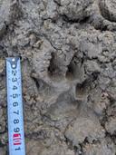 Aan de Roovertsedijk in Esbeek zijn spoorafdrukken van een wolf gevonden.
