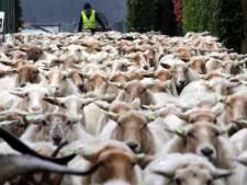 Gezocht: schaapherder. Moet kunnen buffelen, en een diploma hebben